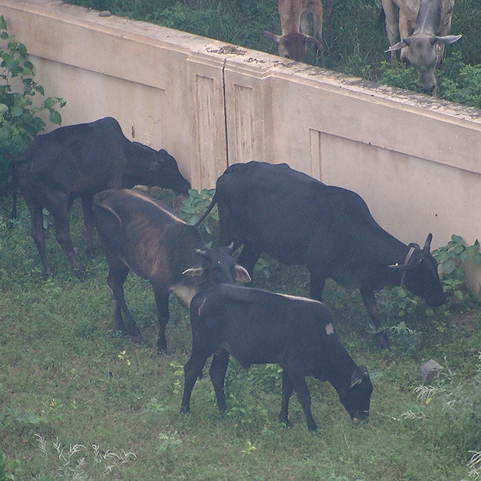 窓から見た、牛の群