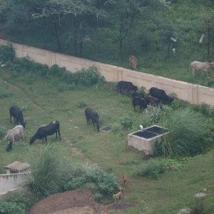 窓から見た、牛の群2