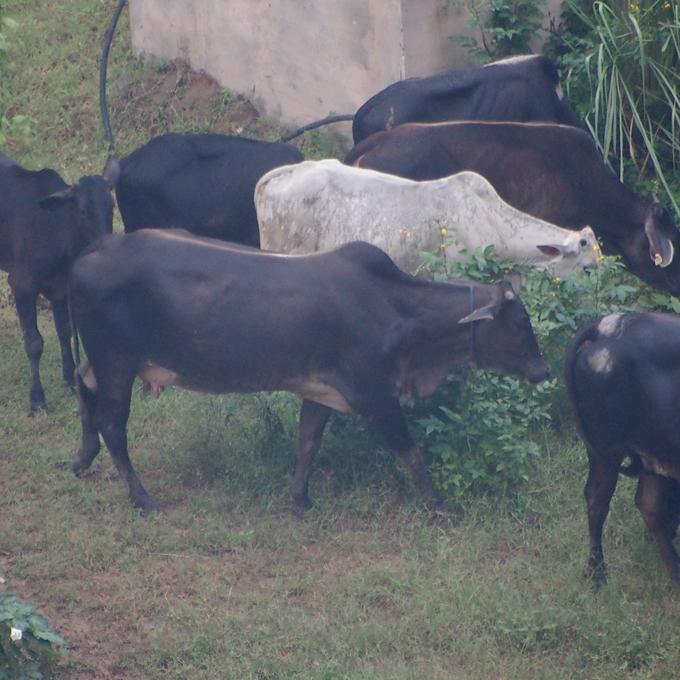 窓から見た、牛の群3