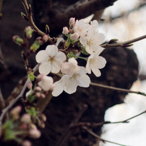 Cherry Blossoms4