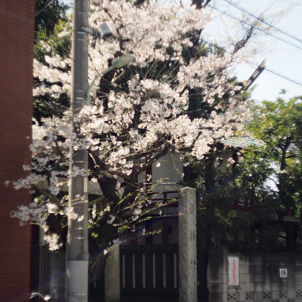 cherry blossom-5